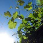 Grapevine-under-Blue-Sky