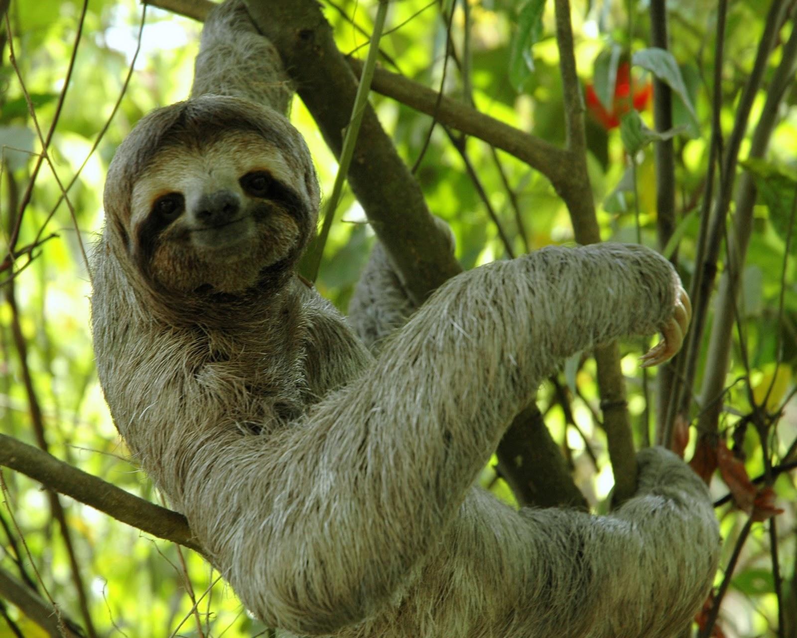 SlothCostarica