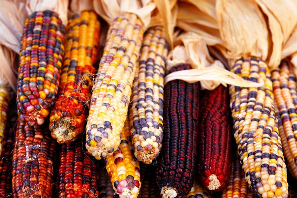 first-thanksgiving-corn